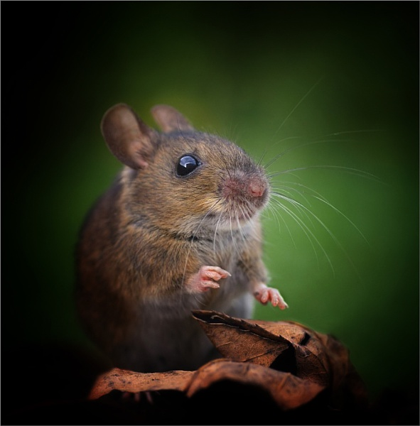 Mouse by clintnewsham