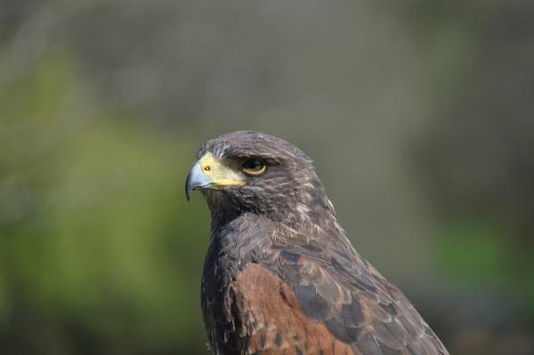 Harris Hawk by James_r