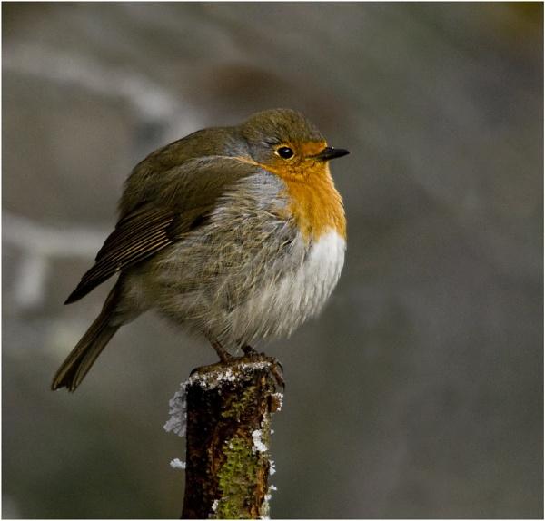 A Festive Robin by dven