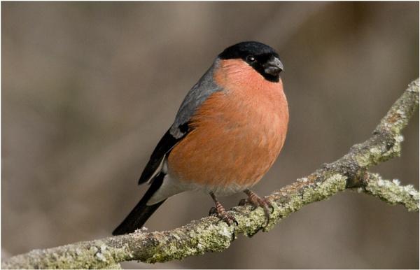Male Bullfinch by dven