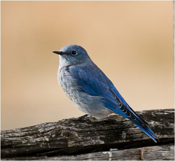 American Blue Bird by dven