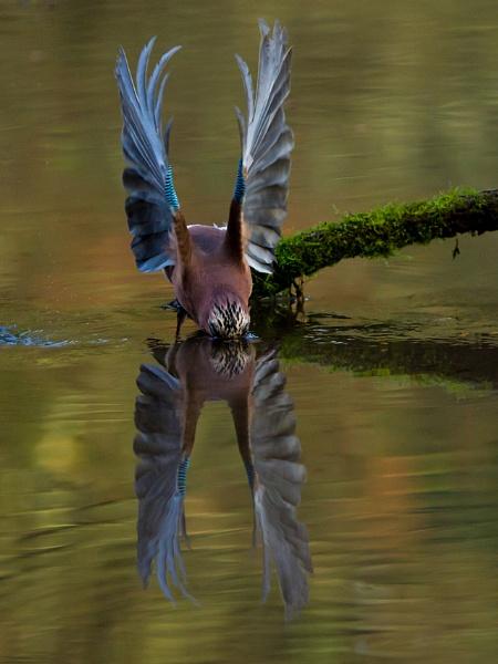 Jay - Balancing act! by pronature