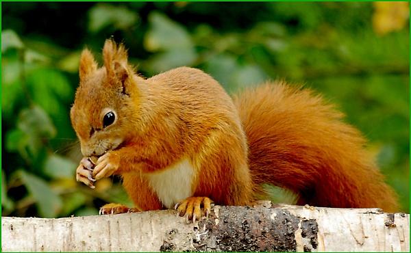 Red Squirrel - Sciurus vulgaris 09. by Badgerfred