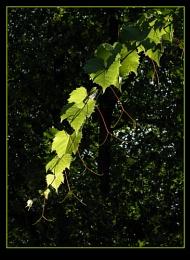 Dangling Vine