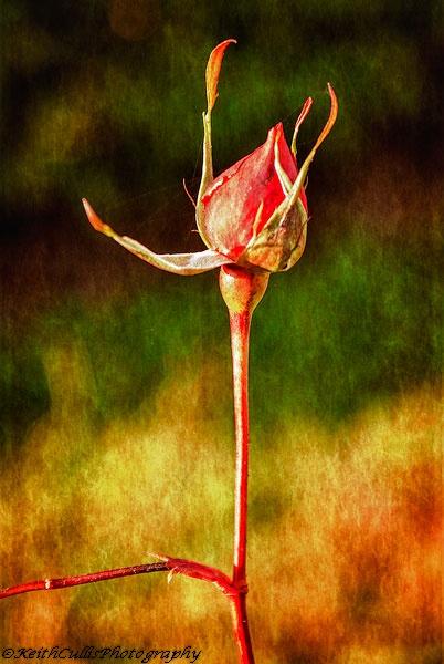 Rustick Rosebud by KeithCullis