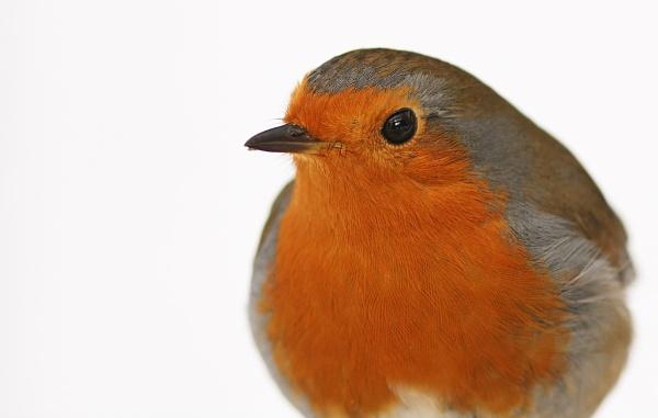 Robin by nutmeg66