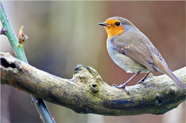 Christmas Robin by gmorley