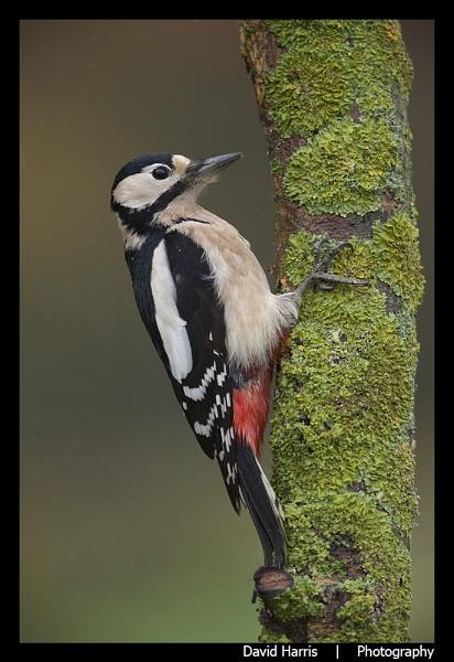 Great Spotted Woodpecker in the Rain by johnjo58