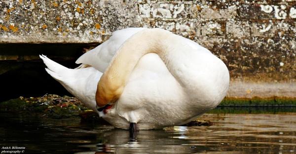 Preening Swan by nasbonnie