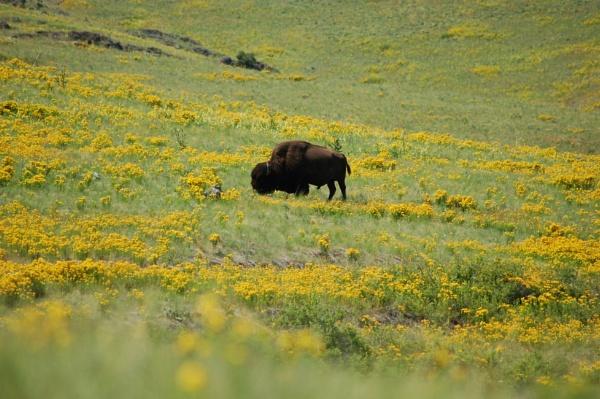 Buffalo in Montana by Hmccdc