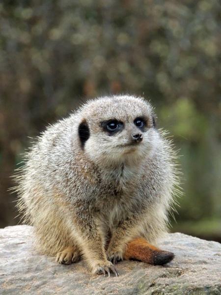 Meerkat 2 by kathrynlouise
