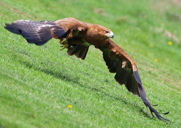Harris Hawk by McClicker