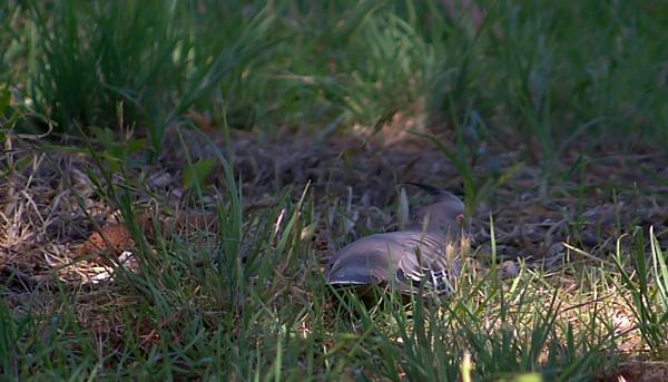 SLEEPING PIGEON, by ndarby1