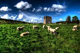 Sheep in field A