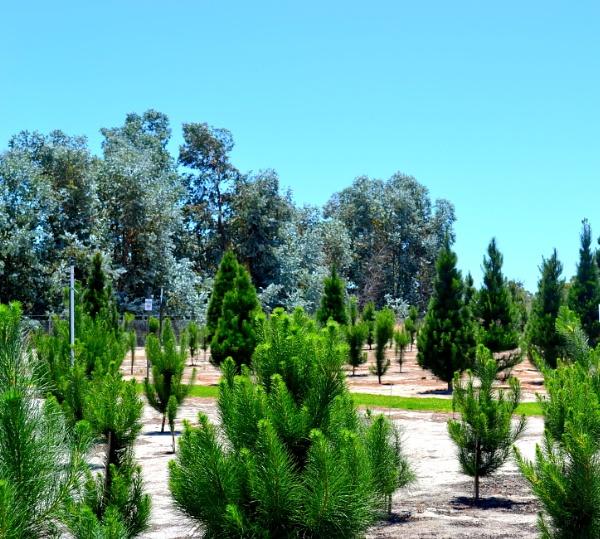 Aussie Christmas tree farm by CLARECUM