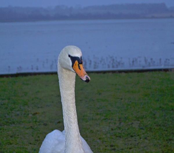 A swan\'s tale.... by Alda
