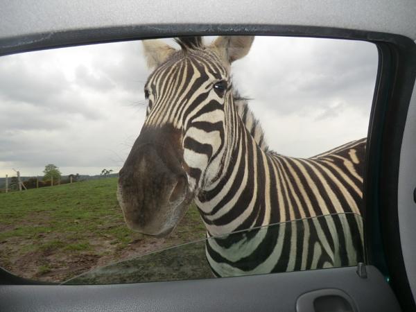 Zebra crossing by Lulukirk