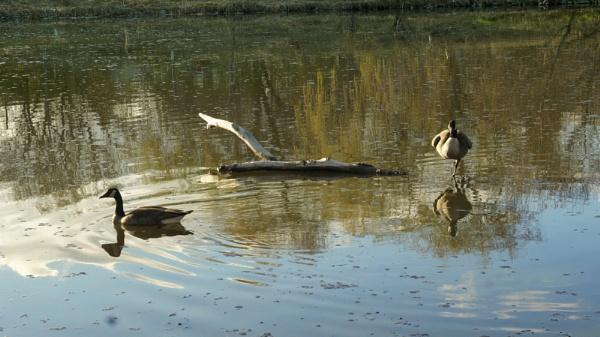 Canadian Geese by dchiu