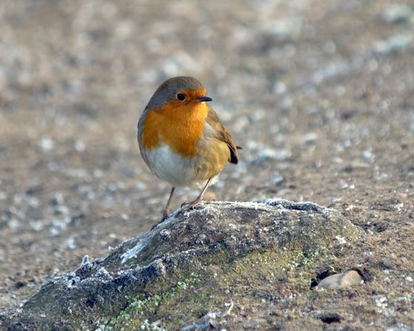 Robin by victorburnside