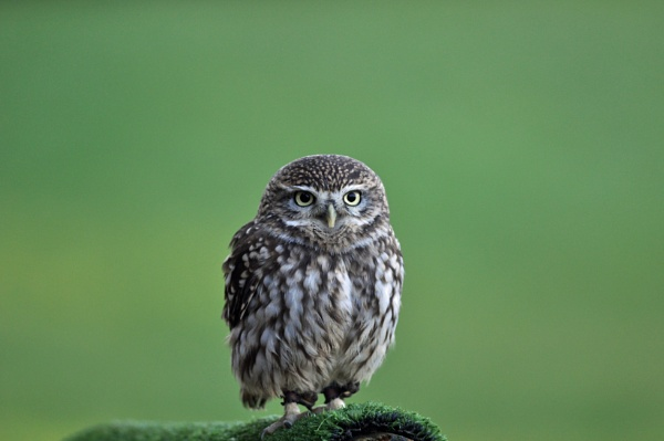 Little Owl by MikeRC
