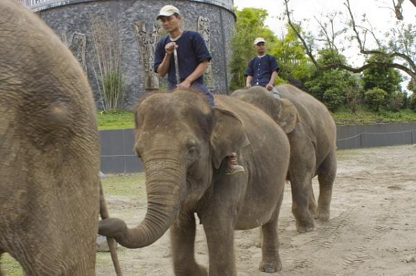 Elephant walk by lionking