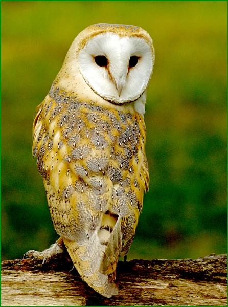 Barn Owl-Tyto alba.02. by Badgerfred