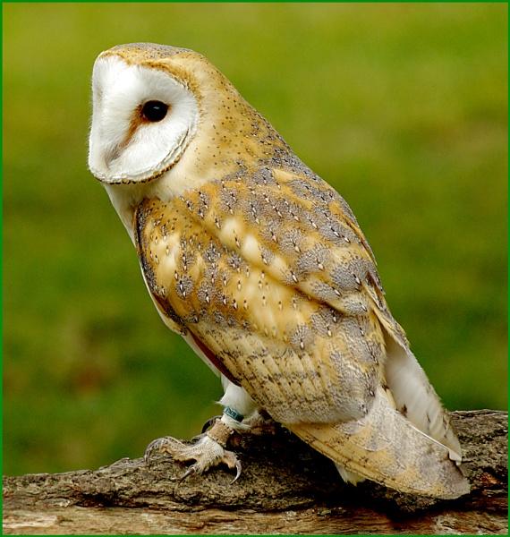 Barn Owl-Tyto alba.03.. by Badgerfred