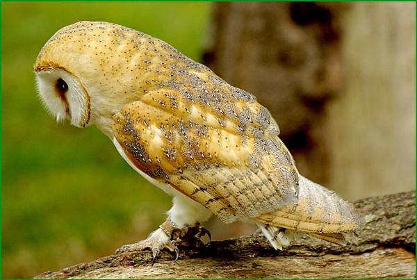 Barn Owl-Tyto alba.04. by Badgerfred