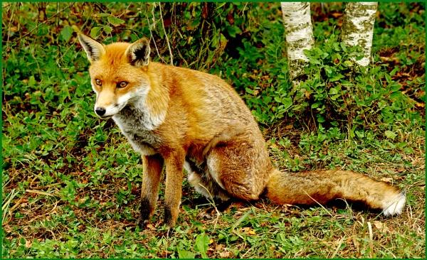 Fox - Vulpes vulpes 14. by Badgerfred