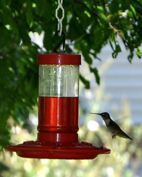 Hummingbird by HectorRivera