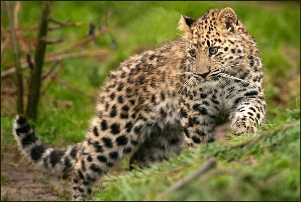 Amur Leopard Cub by HP1485