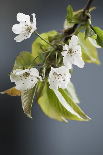 Blossom by arodmell