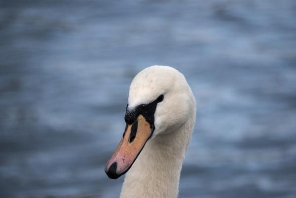 Swan by Pinnace
