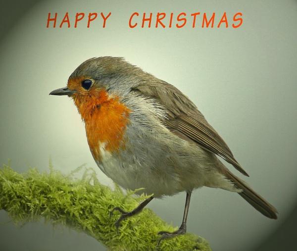 Robin Christmas Card by Snapitt