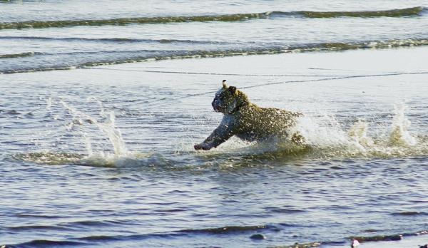 Untitledbull dog playing by christinecilia