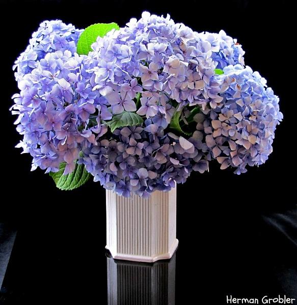 Blue Hydrangea by Hermanus