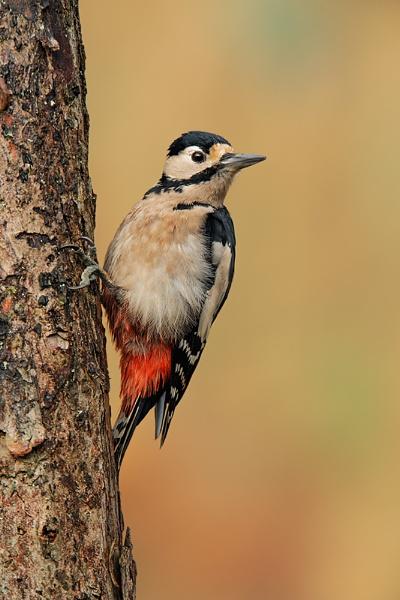Female Woodpecker by geoffrey baker
