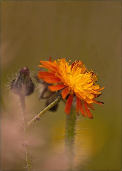 Flower by mickyr
