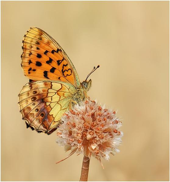 Marbled Fritillary by NigelKiteley