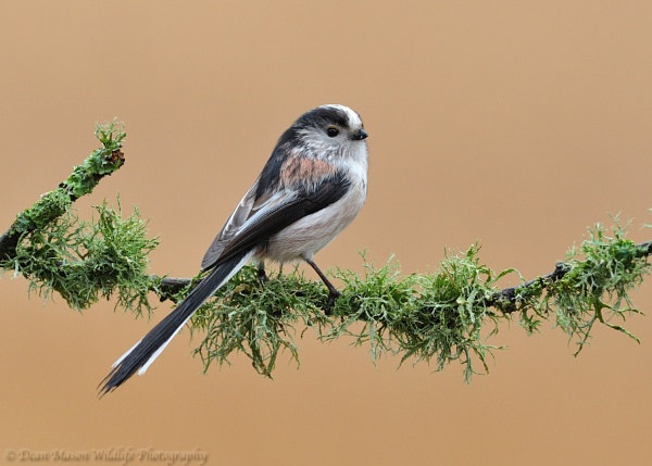 Another Long Tailed Tit by WindowonWildlife