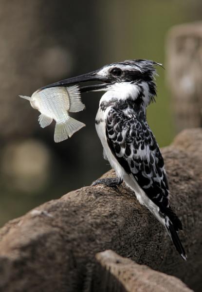 Pied Kingfisher by jcorn3