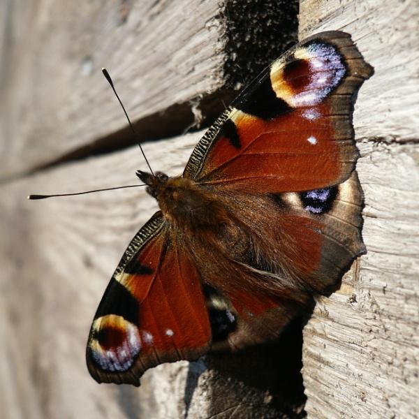 Peacock Butterfly by longhoss