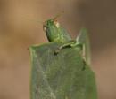 Spanish Grasshopper or Cricket ?..