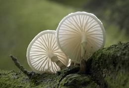 Porcelain fungus – Oudemansiella mucida