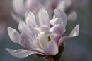 Magnolia by MG1964