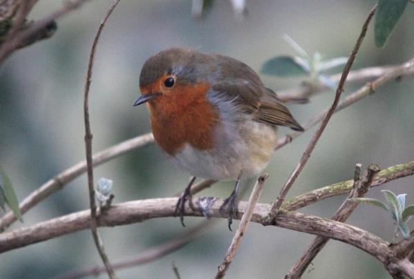 Robin I by kish123