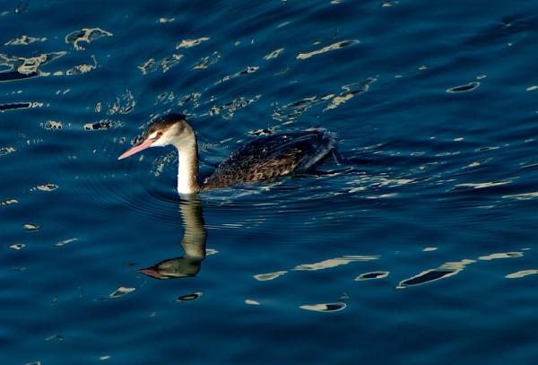 Sea duck by Newdawei