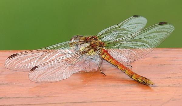Dragon Fly by stub197