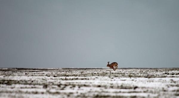 Hare Today, Gone Tomorrow. by fandangofandingo