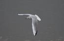 Seagull on Shannon by cjlar